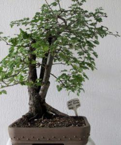 Hier houden we ook 1 x per maand een bonsai morgen Ik werk dan aan mijn Bonsaibomen,samen met nog wat andere bonsaifanaten Zin om mee te doen of te komen kijken,Je bent Welkom